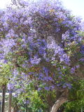 La púrpura florece Ovalle, Chile Imagenes de archivo