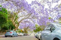 La púrpura floreciente florece árboles del Jacaranda en St de McDougall, Kirribilli en la estación de primavera fotografía de archivo libre de regalías