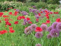 La púrpura magnífica y las flores rojas de Poppy Flowers y púrpuras florecen en la reina Elizabeth Park Garden Summer 2018 fotos de archivo libres de regalías
