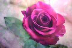 La púrpura se levantó Fotografía de archivo libre de regalías