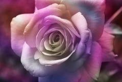 La púrpura se levantó Imágenes de archivo libres de regalías