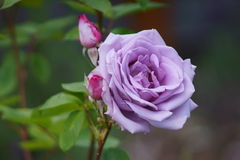 La púrpura se levantó Imagen de archivo