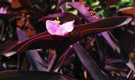 La púrpura se va con un solo flor rosado fotos de archivo libres de regalías