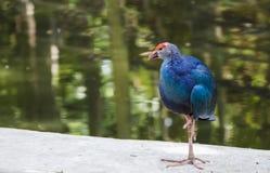 La púrpura swamphen el pájaro Foto de archivo