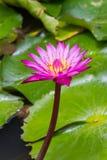 La púrpura waterlily con el centro amarillo en verde hojea fondo Imagen de archivo
