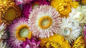 La paglia eterna secca variopinta fiorisce il primo piano Margherite di carta Fotografie Stock Libere da Diritti