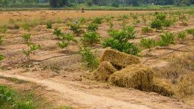 La paglia imballa le piantagioni del limone Fotografia Stock