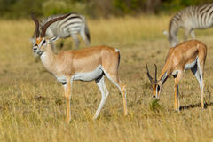 La paire accorde la gazelle Image stock