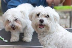 La paire de chiens blancs se tient sur la table de toilettage Images libres de droits