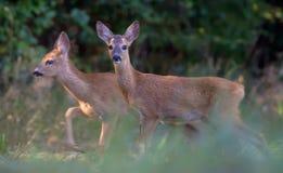 La paire de jeunes cerfs communs d'oeufs de poisson marche ensemble par l'herbe images libres de droits