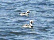 La paire de la longue queue penche patauger dans la baie NJ de Barnegat Images stock