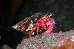 La Palma Canary Islands do caranguejo de eremita Fotografia de Stock