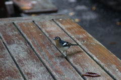 La Palma chaffinch, fringilla coelebs palmae Stock Photo