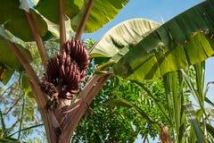 La palma con le banane su un fondo di cielo blu Immagine Stock