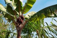 La palma con le banane su un fondo di cielo blu Fotografia Stock Libera da Diritti