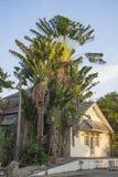 La palma del viaggiatore come grande casa a due piani Fotografie Stock Libere da Diritti