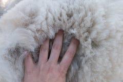 La palma delle donne sul mucchio del vello bianco dell'alpaga Fotografia Stock