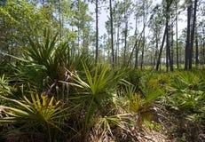 La palma enana americana abunda en el parque de estado del coto del pantano de Tarkiln Foto de archivo libre de regalías