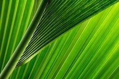 La palma lascia II Fotografia Stock