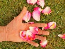 La palma masculina con los fingeres largos con los pétalos color de rosa caidos en arbusto color de rosa Imagen de archivo libre de regalías