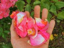 La palma masculina con los fingeres largos con los pétalos color de rosa caidos en arbusto color de rosa Imagenes de archivo