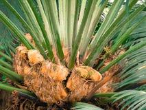 La palma nel parco Immagini Stock Libere da Diritti