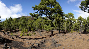 La palma ruta de los vulcanos森林 图库摄影