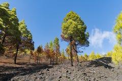 La palma ruta de los vulcanos秋天树 图库摄影