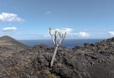La palma ruta de los vulcanos drago树 免版税图库摄影