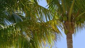 La palma soleggiata del giorno di estate completa il fondo 4k Florida S.U.A. del cielo blu video d archivio