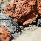 La Palma typical lizard Tizon Gallotia galloti palmae Stock Photos