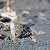 La Palma typical lizard Tizon Gallotia galloti palmae Royalty Free Stock Photos
