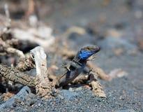 La Palma typical lizard Tizon Gallotia galloti palmae Stock Image