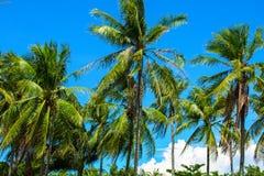 La palmera de los Cocos con verde mullido se va en el cielo brillante paisaje tropical de la naturaleza Foto de archivo