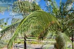 La palmera verde deja macro en fondo del cielo azul Foto de archivo libre de regalías
