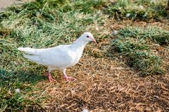 La paloma Fotografía de archivo libre de regalías