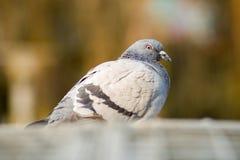 La paloma Fotos de archivo