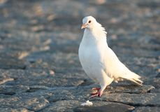 La paloma Foto de archivo
