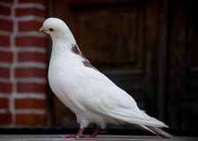 La paloma Imagen de archivo