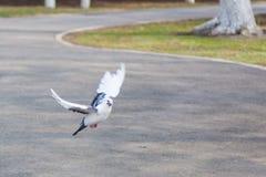 La paloma Fotos de archivo libres de regalías
