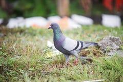 La paloma Foto de archivo libre de regalías