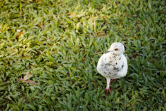 La paloma blanca está caminando en la hierba Foto de archivo libre de regalías