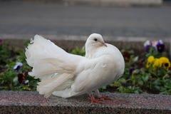 La paloma blanca fluffed encima de su cola y rizado foto de archivo