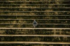 La paloma camina en una escalera oscura ancha Foto de archivo libre de regalías