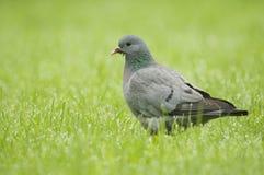 La paloma de la acción (oenas del Columba) se cierra para arriba Fotografía de archivo libre de regalías