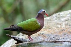 La paloma de la esmeralda y el x28 comunes; Indica& x29 de Chalcophaps; el verde colorido Fotografía de archivo