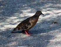 La paloma de los pagos del ¡de Galà (las Islas Galápagos, Ecuador) Fotografía de archivo