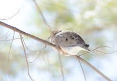 La paloma de luto, tortuga se zambulló macroura de Zenaida en una rama de árbol Fotografía de archivo
