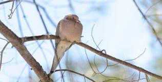 La paloma de luto, tortuga se zambulló macroura de Zenaida en una rama de árbol Foto de archivo