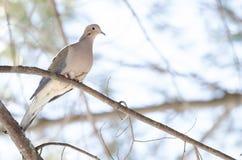 La paloma de luto, tortuga se zambulló macroura de Zenaida en una rama de árbol Imagenes de archivo